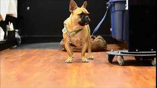 "French Bulldog Tells His Mom ""I Love You"" - Video"