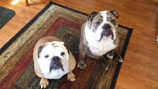 Two ADORABLE Bulldogs Enjoying Their Favorite Snack  - Video