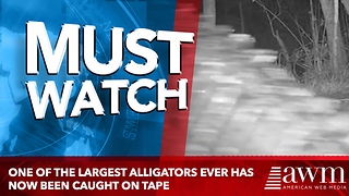 One Of The Largest Alligators Ever Has Just Been Caught On Tape For The First Time - Video