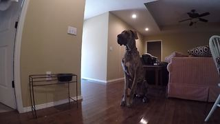 Hungry Great Dane emits river of drool - Video