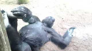 Energetic Little Gorilla Just Wants to Play - Video