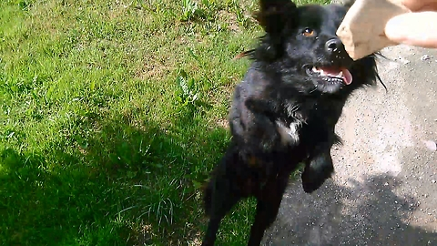 Unbelievable! This dog can find a thrown stone in dense grass