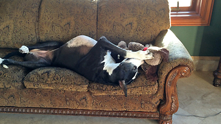 Funny Lazy Great Dane plays with Stuffie - Video