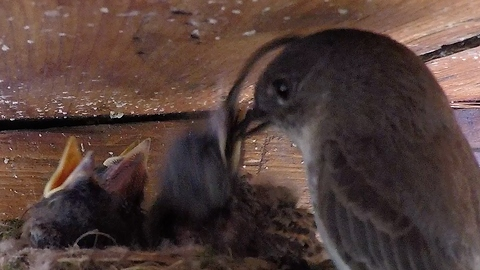 Tiny baby phoebe birds eat shockingly enormous meals