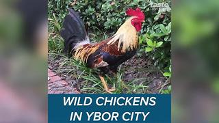 The wild chickens of Ybor City - Video