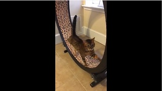 Cat channels inner hamster, exercises on wheel toy - Video