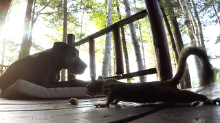Squirrel steals peanuts from under blind dog's nose