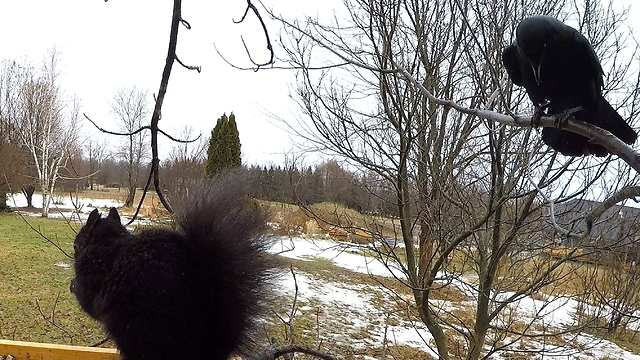 Wild Crow Actually Speaks To Squirrel At Bird Feeder - Video