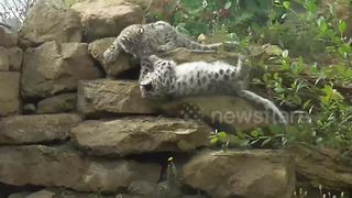 Adorable snow leopard cub takes a tumble - Video