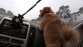 Dog Goes Completely Bonkers For Windshield Wipers  - Video