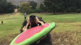 Dog Catches Frisbee Right at Camera, Little Girl Doesn't Flinch - Video