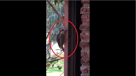 Woodpecker attempts to drill through window