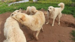 Livestock guard dogs engage in extremely rough playtime - Video