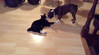 Epic battle between Boston Terrier and Manx cat