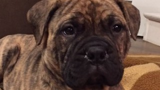 Bullmastiff Puppy Surprise to Crying Kids - Video