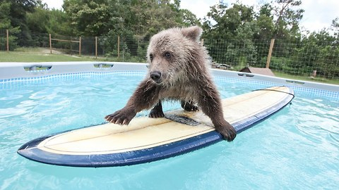 Cute Baby Bear Rides Surfboard In Pool