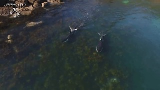 Drone Follows Killer Whale Pair Hunting in Shallow Waters - Video