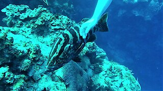 Large grouper fish approaches scuba divers for some love