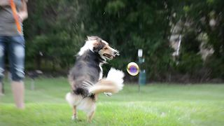 Dog hilariously obsessed with popping bubbles - Video