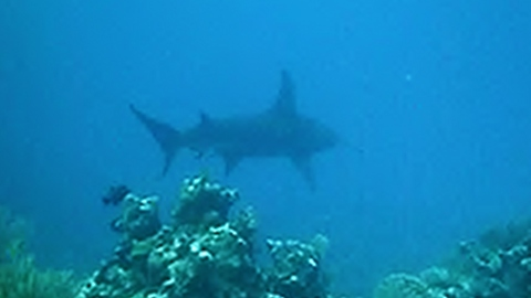 Diver has extreme encounter with massive hammerhead