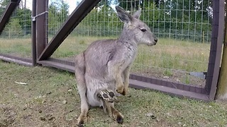 Enormously large baby wallaby falls from mother's pouch - Video