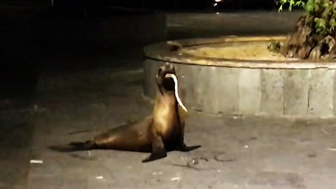 Sea lion wakes and vomits up something alive!