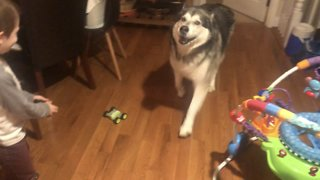 Malamute freaks out when kid plays with remote control car