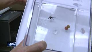 Second northern black widow spider found in Brown County - Video
