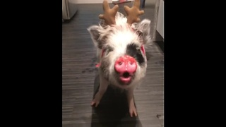 Mini pig dresses up as reindeer for Christmas - Video