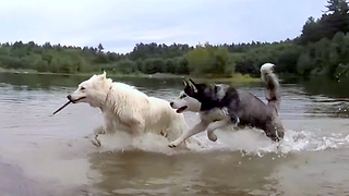 Cute Siberian Husky steal a stick from a White German Shepherd - Video