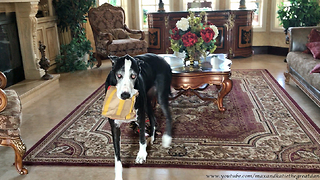 Happy Great Dane Loves to Carry McDonald's Bag  - Video