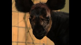 Gorgeous Baby Okapi - Video