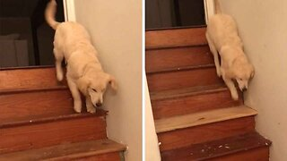 Six-month-old Puppy Bounces Downstairs After Learning How To Climb Down From Three-legged Brother