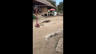 Just a Komodo dragon strolling through town - Video