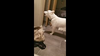 Funny Dog Howls Every Time Owner Takes Bath - Video