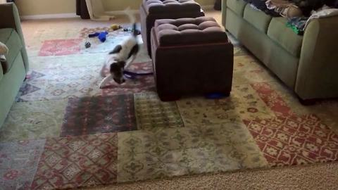 Funny Dog Chases The Other End Of Its Leash Around A Taboret