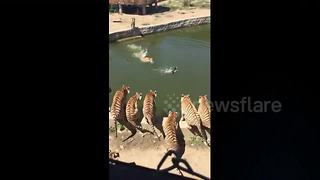 Duck tries to flee tiger after falling into enclosure - Video