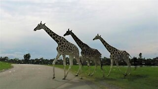 Giraffes and rhinos casually cross the road in front of traffic
