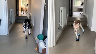 These boots are made for walking: Adorable dog filmed wearing booties