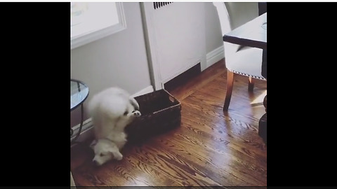 Clumsy puppy jumps in basket, totally wipes out