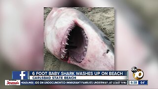 Baby shark washes up on Carlsbad beach