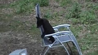 Black Bear Cub Borrows A Lawn Chair To Play