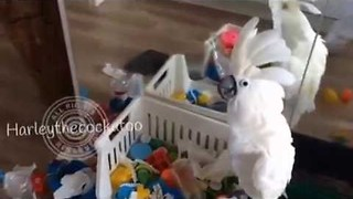 Cockatoo Sings Song of Destruction Before Making a Mess - Video
