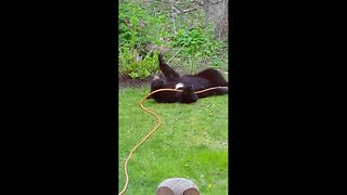 Naughty bear cub plays with garden hose - Video