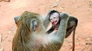 Poor Baby Monkey Very Small Mom Weaning  - Video