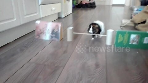 Spin-nea pig! Agile guinea pig performs many tricks including pirouetting after owner