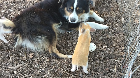 Farm dog plays with cute little piglets