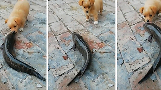 Cute Puppy Plays With Fish! So Funny