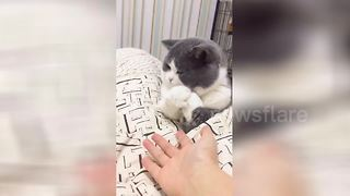 This Cat Turns Its Nose To Shaking Hands With The Owner