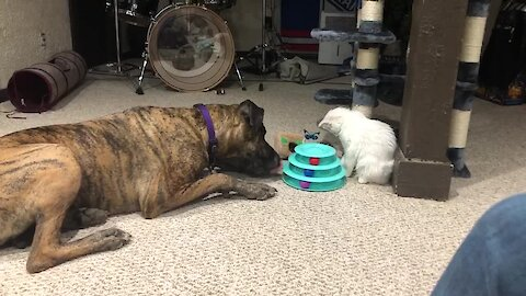 Watch this dog and cat bond over their favorite toy